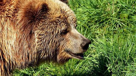 European-brown-bear-3337442_640_thumb_main